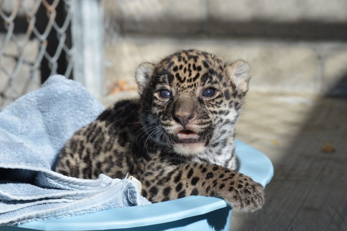 Living Desert's Baby Jaguar Finds Out His Name