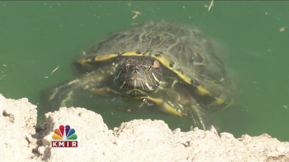 You Ask. We Investigate. ® Too Many Turtles In Civic Center Park?