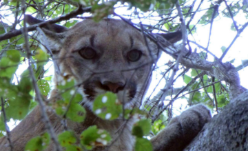 Southern California Mountain Lion P-23, Part of Big Cat Study, Has Been Found Dead