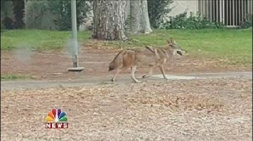 Coyote Breeding Season Spells Trouble For Small Pets