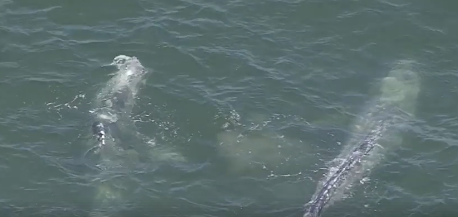 Caught on Camera: Two Whales Attract a Crowd in Seal Beach