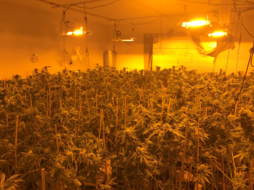 Yucca Valley Man Arrested for Large Marijuana Grow Operation