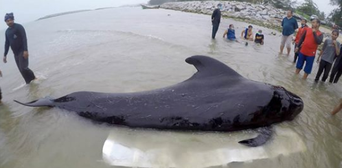 Dead whale found in Thailand with 17 pounds of plastic in its stomach