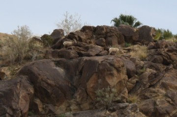 Safety concerns raised for Bighorn sheep in Palm Springs