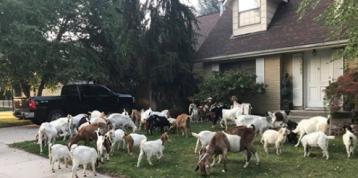 'Goat-a-Palooza': Herd of Hungry Goats Descend on Idaho Neighborhood