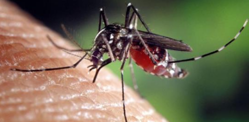 Aggressive 'Ankle-Biter' Mosquito Eating SoCal Alive