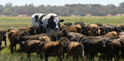 Holy Cow! Huge Steer Too Beefy to Become Burgers Goes Viral