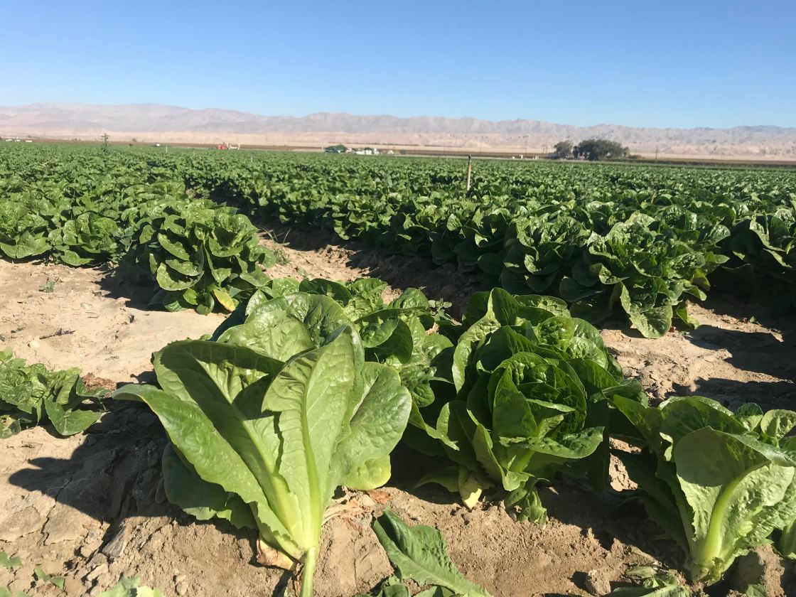 "Farmers make a ""Romaine Recovery"" after E. coli Outbreak"