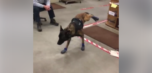 Watch: South Dakota Police Dog Learns to Walk in Snow Boots