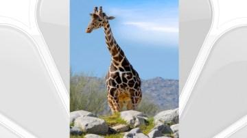 Living Desert Announces Death of Giraffe