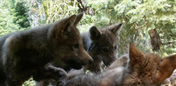 Judge Upholds Protection for Gray Wolves in California