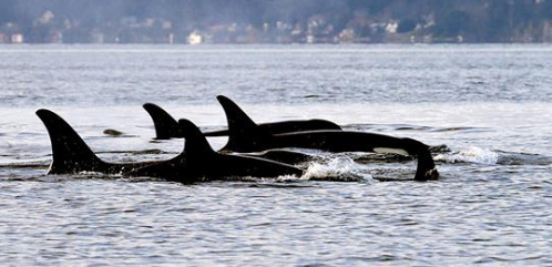 Critically Endangered Puget Sound Orcas Likely to Lose 2 More This Summer