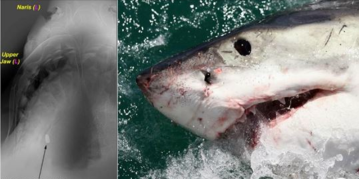 Calif. Man Convicted of Fatally Shooting Great White Shark