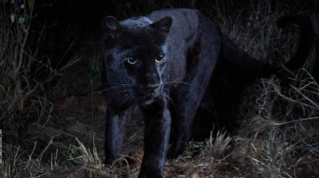 Rare black leopard photographed for first time in 110 years
