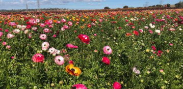 The Flower Fields at Carlsbad Ranch Ready for 2019 Season