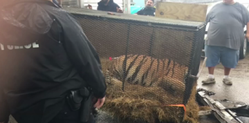 Pot Smokers Find Caged Tiger in Abandoned Houston House, Weren't Hallucinating: Police