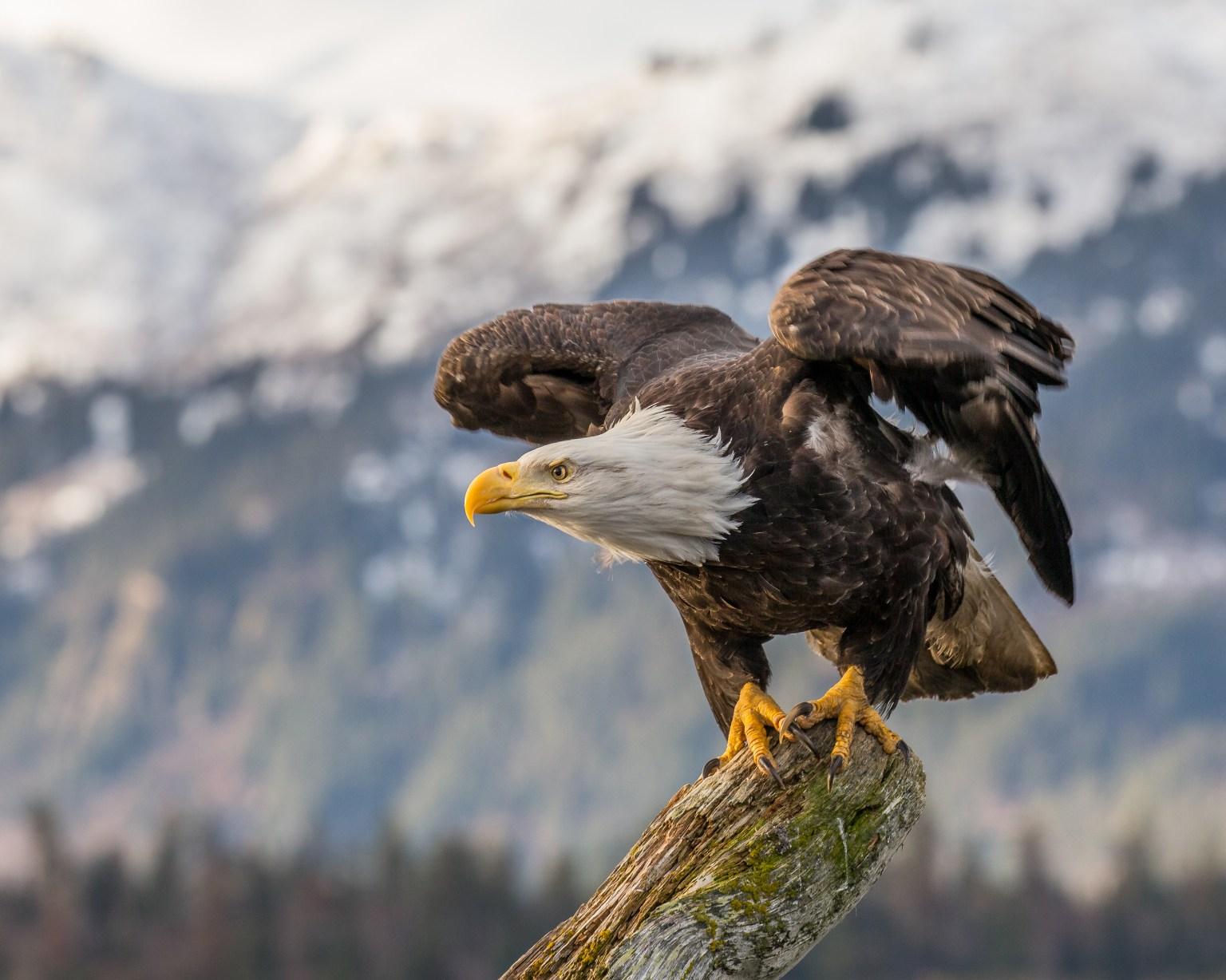 Eaglets Near Their Due Date