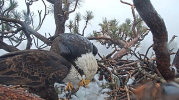 Watch: Bald Eagles on Double Egg Duty in Big Bear