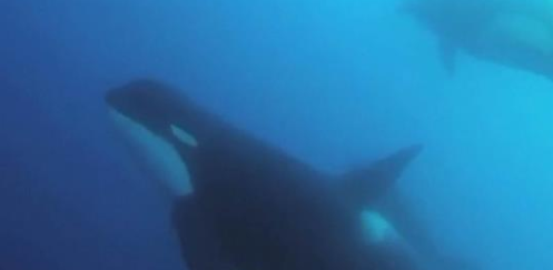 Scientists discover new type of killer whale