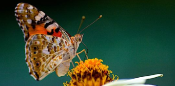 Southern California skies fill with butterflies thanks to painted lady migration