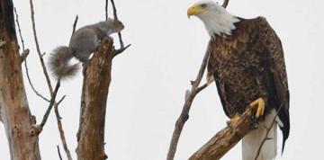 Photographer captures epic standoff between bald eagle, squirrel