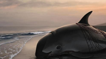 Sad News: Mexico Says Only 22 Vaquita Porpoises Remain