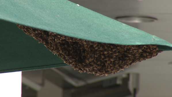 Thousands of Bees Swarm to Starbucks on El Paseo