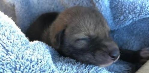 Abandoned Puppy Turns Out to Be a Coyote