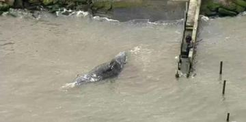 Dead Gray Whale Washes Ashore in Bay Area