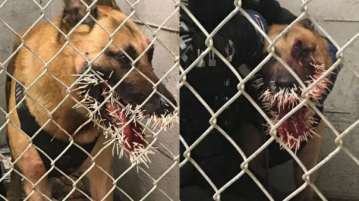 Police K-9 stuck with over 200 porcupine quills after tracking wanted man