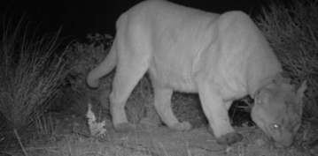 Rat Poison May Have Killed P-47 Mountain Lion, Authorities Say
