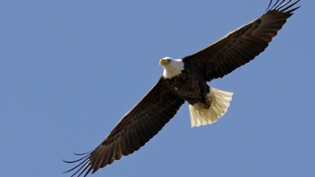 At least seven bald eagles killed by banned pesticide in Maryland