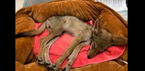 Lost And Starving Coyote Pup Found Last Week Died
