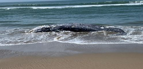 Another Dead Whale Washes Ashore in San Francisco Bay Area