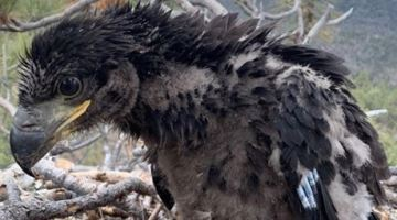 Eagle Chick Seen in Big Bear Nest Cam Dies After SoCal Storm