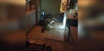 Massive Alligator Captured After Breaking Into Florida Home: Police