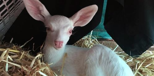 Rare Albino Fawn Rescued From Road in Northern California