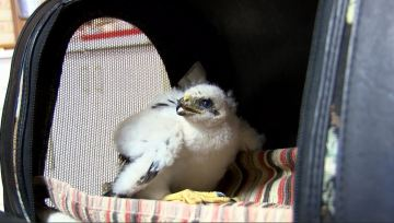 Young Hawks Fall out of the Sky from Extreme Heat
