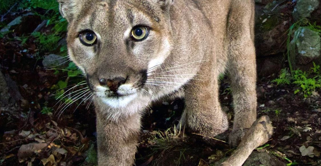 State Endangered Species Protection Sought for Southland Mountain Lions