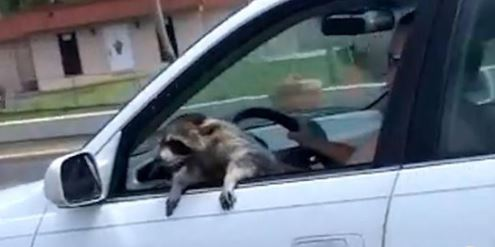 Raccoon Spotted Hanging Out of Car Window on Florida Road