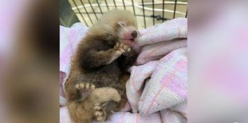 Tiny Red Panda Born at Smithsonian Conservation Institute