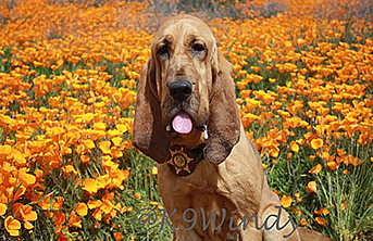 Sheriff's Bloodhound 'Windy' Loses Battle with Illness