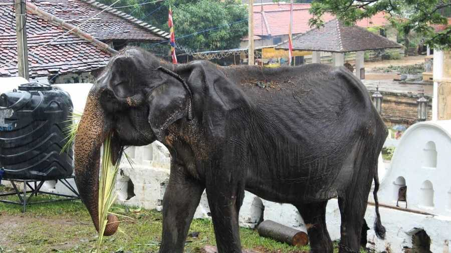 Tourists urged to boycott Sri Lanka's elephant attractions after photos of emaciated female emerge