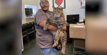 Giant 26-Pound Cat Goes Viral, Looking For 'Purrfect' Home