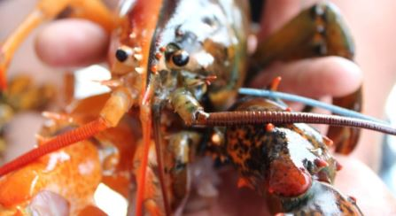 Super rare two-toned lobster turned up in Maine. It's one in 50 million