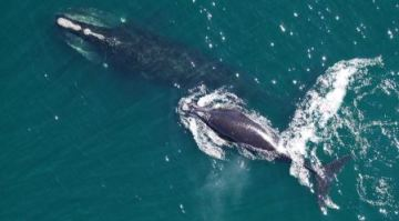 North Atlantic right whale will soon be extinct unless something is done to save it, researchers warn