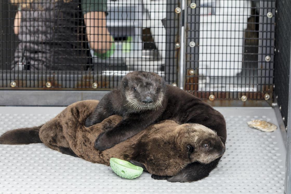 Help Name Two New Sea Otter Pups At Shedd Aquarium