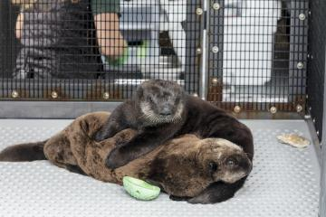 Help Name Two New Sea Otter Pups At Shedd Aquarium