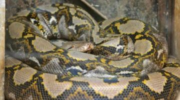 Woman found dead with 8-foot python wrapped around her neck