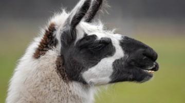 Perris Exotic Animal Farm Burglarized, Llamas Stolen